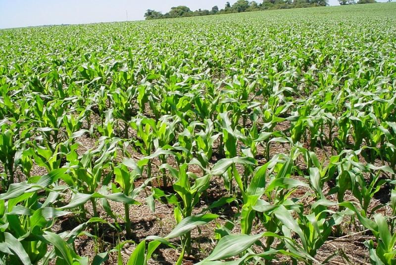 RS: Altas temperaturas aceleram maturação e colheita do milho