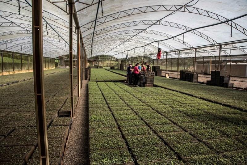 RS: Pesquisas da Agricultura potencializam produção de mudas de acácia-negra