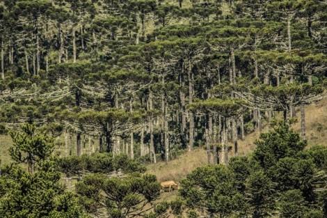 Colheita do pinhão sustenta famílias e tradição extrativista nos Campos de Cima da Serra