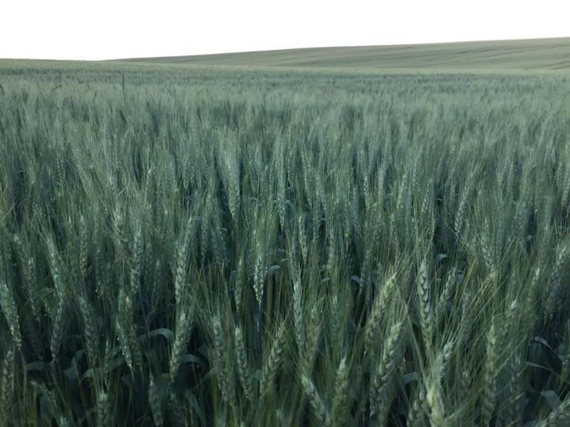 Lavoura de trigo entra em fasede floração no Rio Grande do Sul