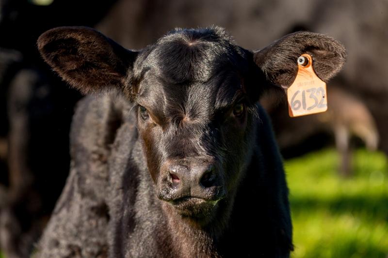 RS: Raça bovina Ultrablack fará sua estreia na Expointer neste ano