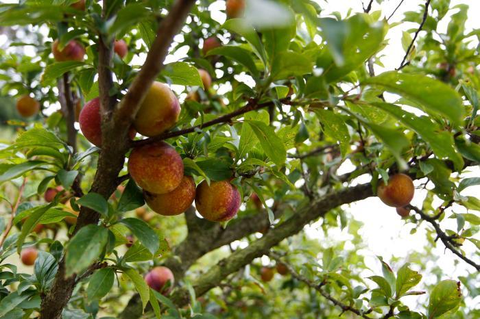 Produtores da Porto Alegre esperam colher 200 toneladas de uva e ameixa