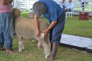 42ª Exposição-Feira de Ovinos de Verão inicia esta semana