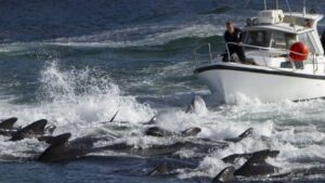 A revolta após matança de 1.400 golfinhos em um dia na Europa; BBC
