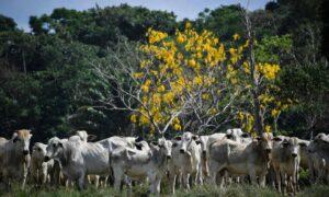 Ministério da Agricultura determina suspensão da produção de carne bovina para a China; O Globo